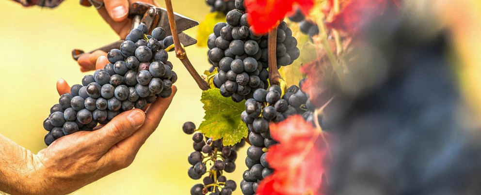 What You Need to Know About Napa Valley Harvest Season