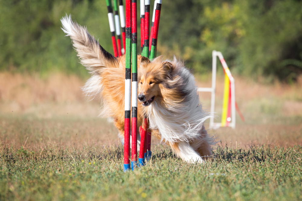 westminster-dog-show-agility