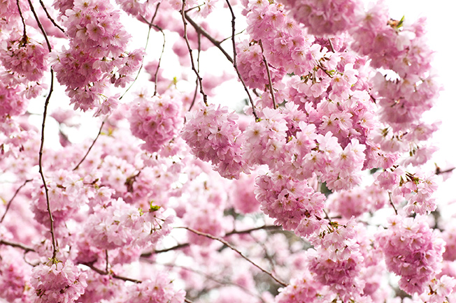 Brooklyn Botanical Garden's Cherry Blossom Festival
